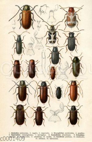 Käferarten