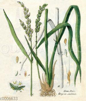 Reispfanze