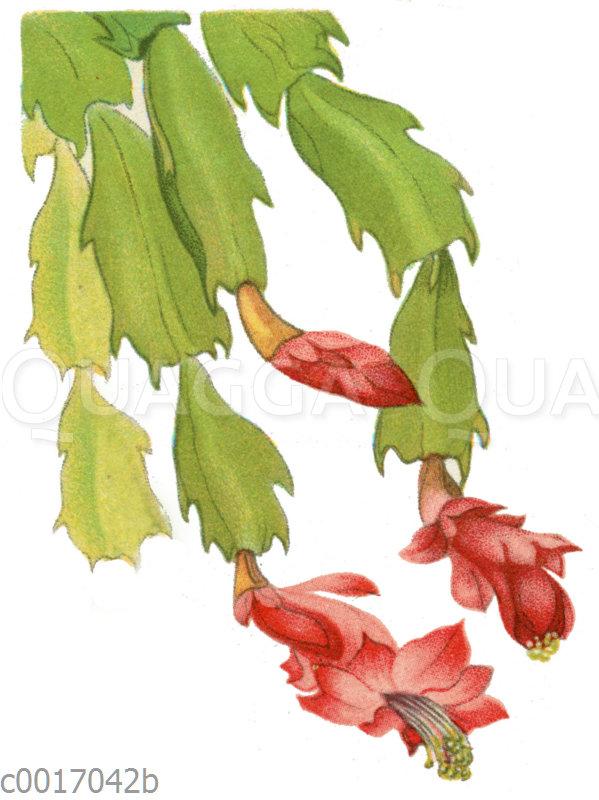 Epiphyllum truncatum var.