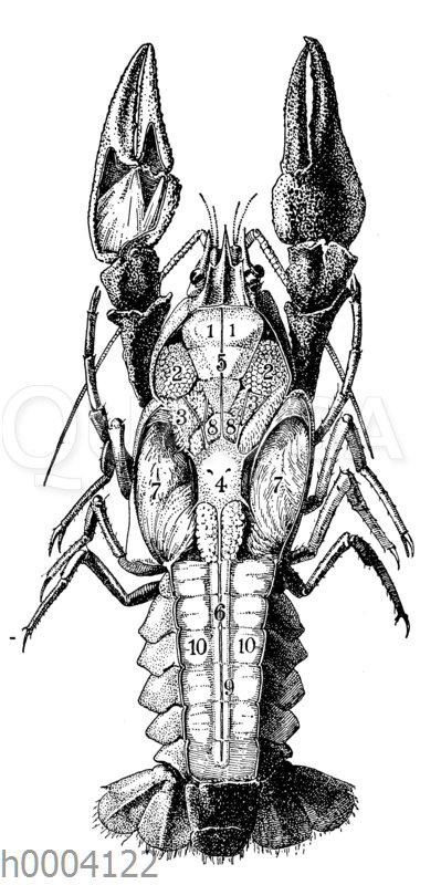 Flusskrebs: Innere Organe