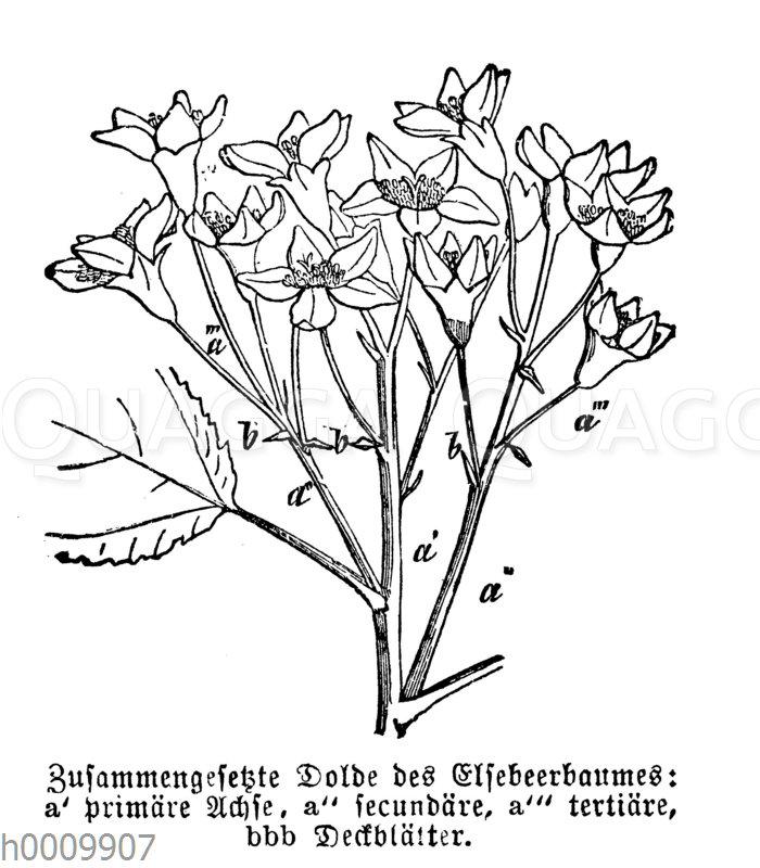 Zahmer Ebereschenbaum: zusammengesetzte Dolde