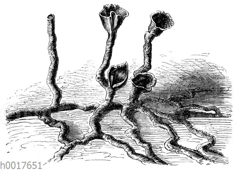 Tongänge weißer Ameisen
