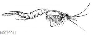 Mysis vulgaris Syn Neomysis integerMän: nchen