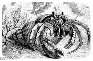 Einsiedlerkrebs in der Schale des Wellhorns