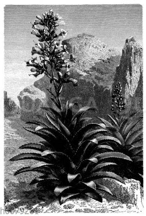 Aechmea paniculata in Mexiko
