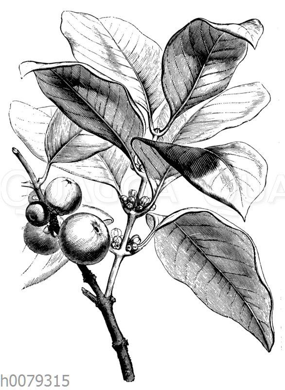 Gummiguttabaum