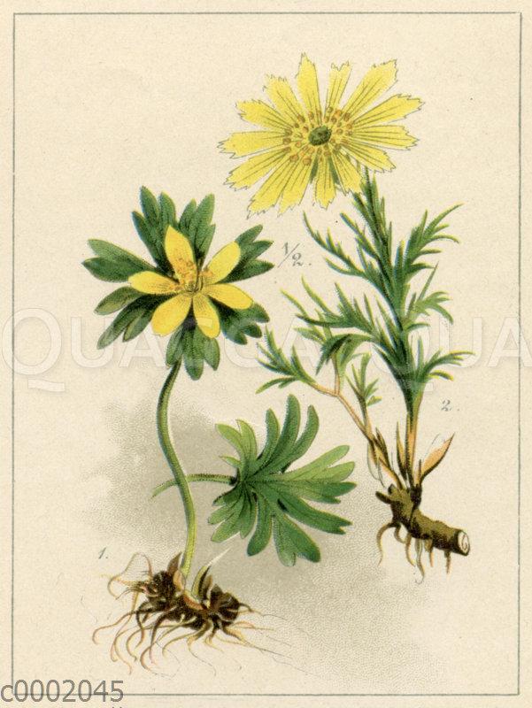 Winterling (1) und Frühlings-Adonisröschen (2)