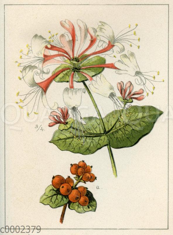 Gartengeißblatt