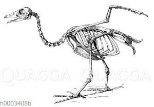 Gans: Skelett