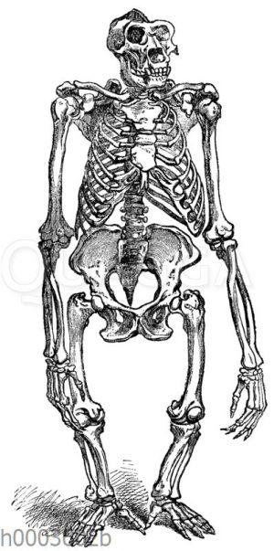 Gorilla: Skelett