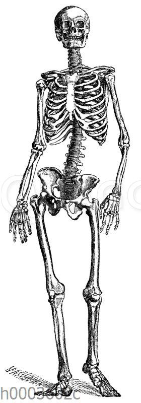 Mensch: Skelett