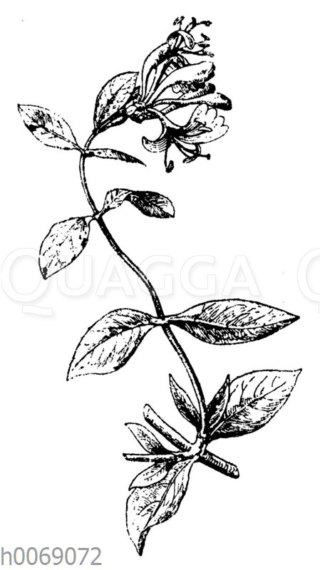 Waldgeißblatt