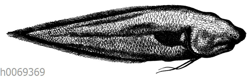 Typhlonus nasus