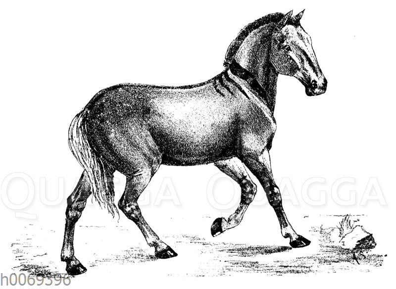 Atavismus: Pferd mit zebraähnlichen Streifen