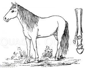 Atavismus: Pferd mit entwickeltem zweiten Huf