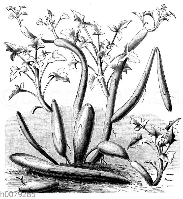 Kleinia articulata Syn. Senecio articulatus: Bildung sproßförmiger Ableger