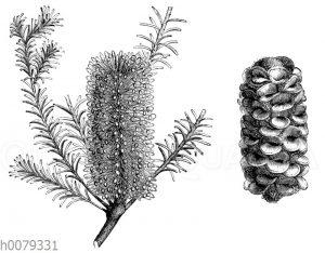 Banksia ericitolia: Blühender Zweig und Fruchtstand