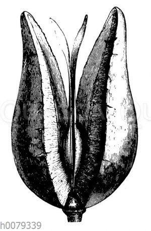 Xyolmelum piriforme: Balgfrucht