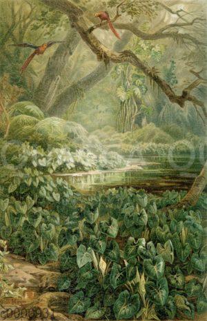 Aroideen (Xanthosoma sagittifolia) im brasilianischen Urwald