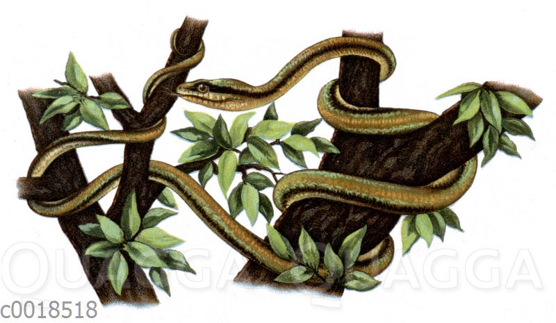 Glattschwänzige Baumschlange