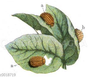 Kartoffelkäfer
