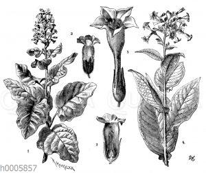 Bauerntabak und Virginischer Tabak
