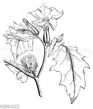 Stechapfel mit Blüte und junger Frucht