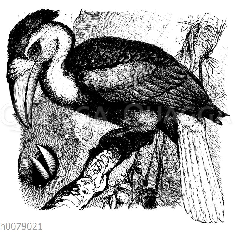 Faltenhorn- oder Jahrvogel (Buceros plicatus)