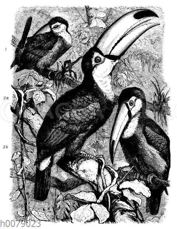 1 Rotschnäbliger Tukan (Rhamphastus tucanus)