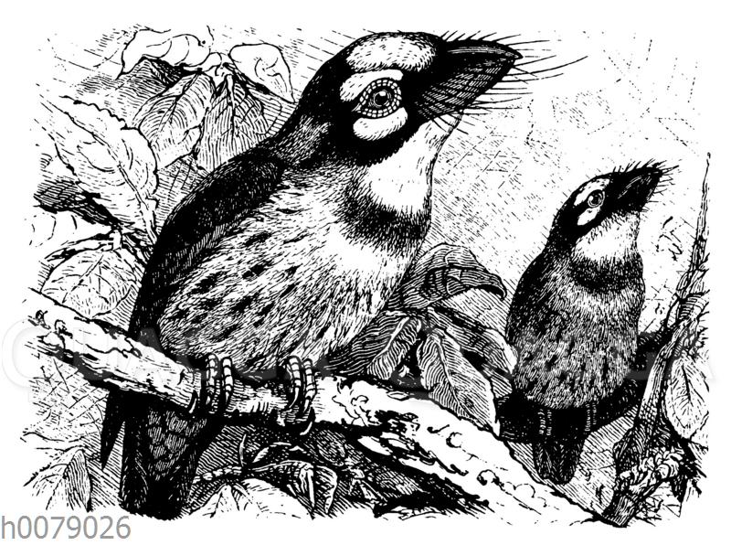 Rot- und gelbkehliger Bartvogel (Bucco flavigula)