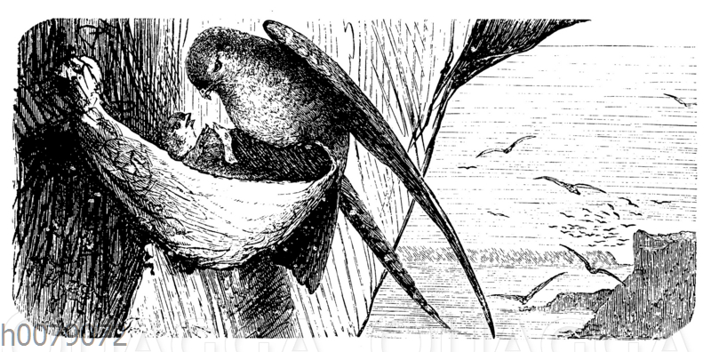 Echte Salangane (Collocalia nidiflea)