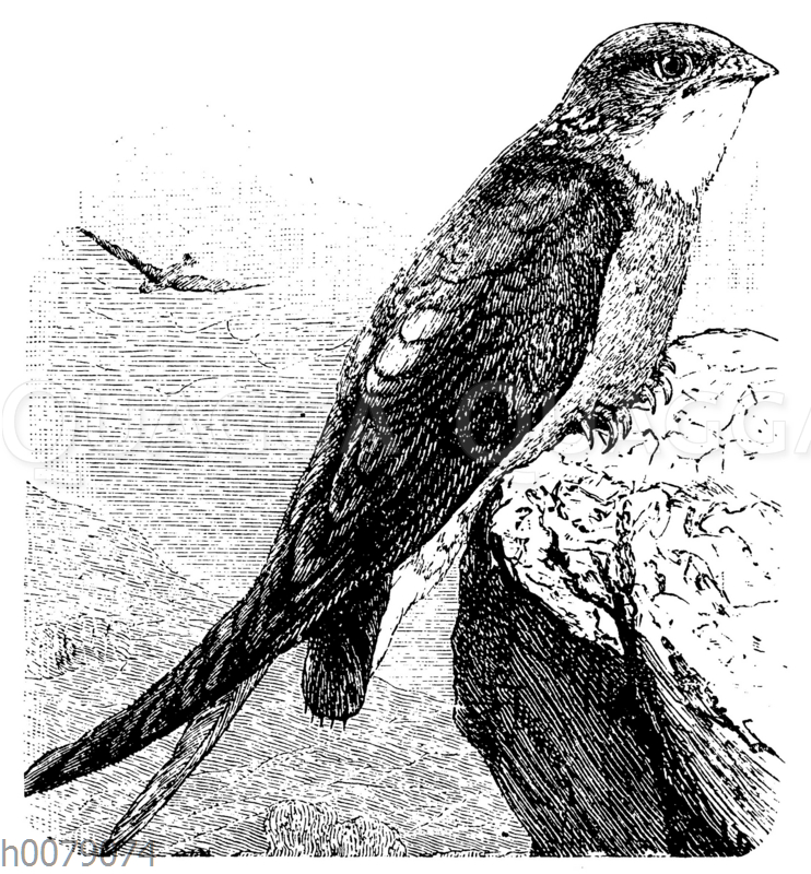 Mauer- oder Turmschwalbe (Cypselus apus)