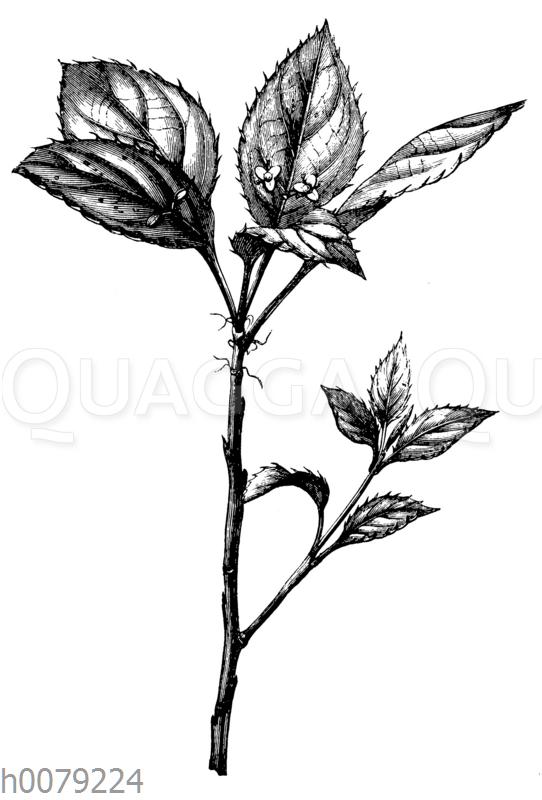 Helwingie Helwingia ruscifolia