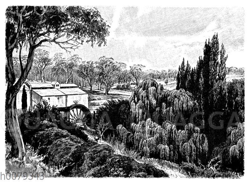 Wasservegetation bei Bridgewater (Victoria) mit Acacia pendula