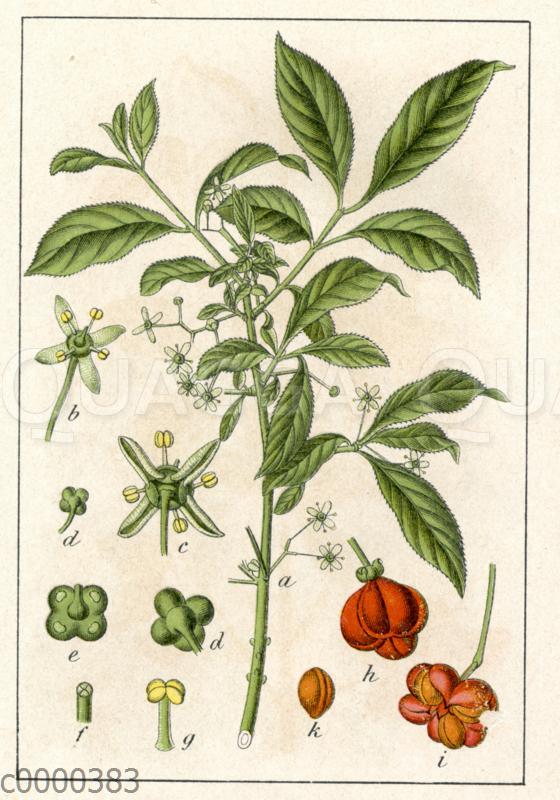 Gemeiner Spindelbaum