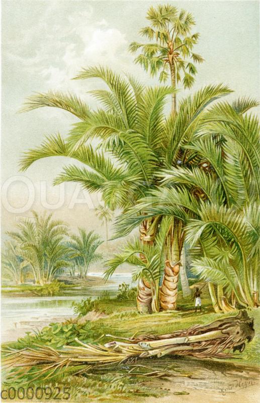 Sagopalmen in Südasien