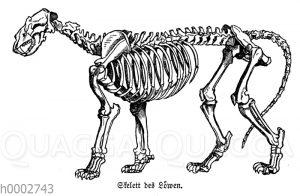 Löwe: Skelett