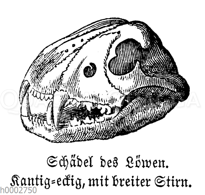 Löwe: Schädel