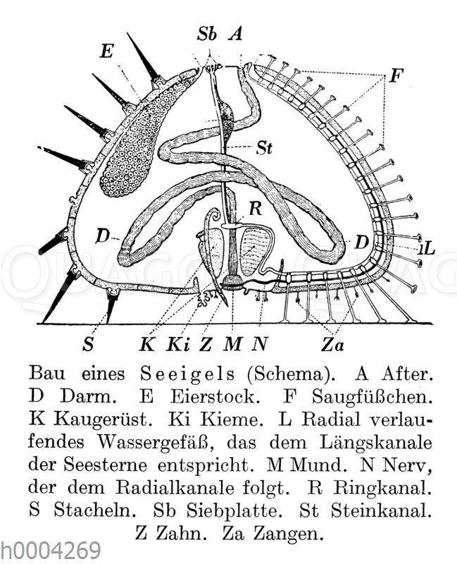 Seeigel: Innere Organe