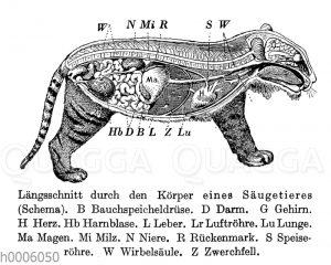Tiger: Längsschnitt durch den Körper