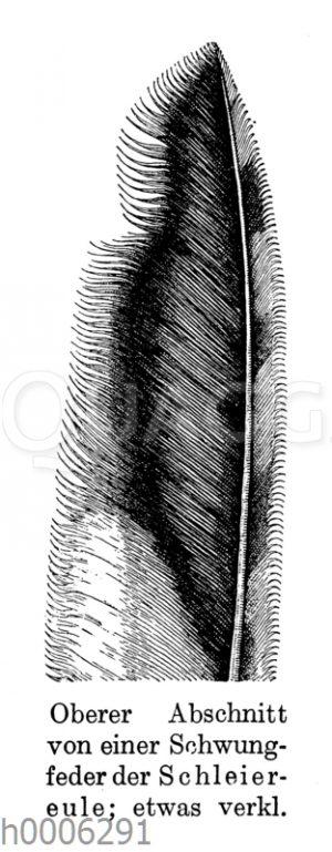 Schleiereule: Schwungfeder