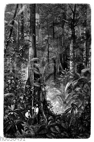 Urwald mit Rotangpalmen auf Ceylon