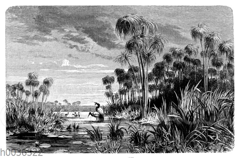 Papyrus-Stauden am oberen Nil
