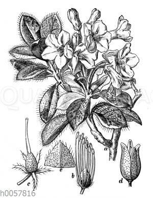 Rauhaarige Alpenrose