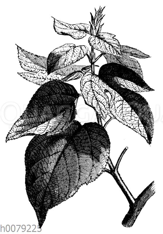 Papiermaulbeerbaum