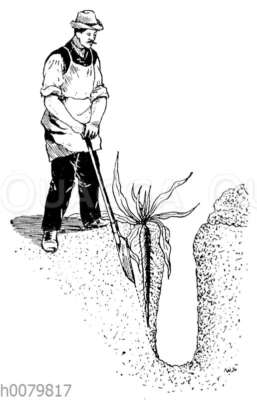 Ernte durch Abgraben