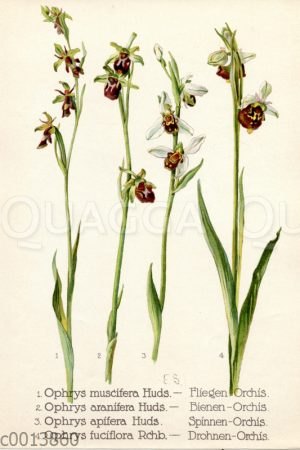 Orchideen: Fliegen-Ragwurz