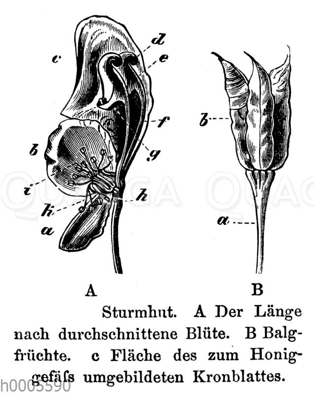 Eisenhut: Blüte