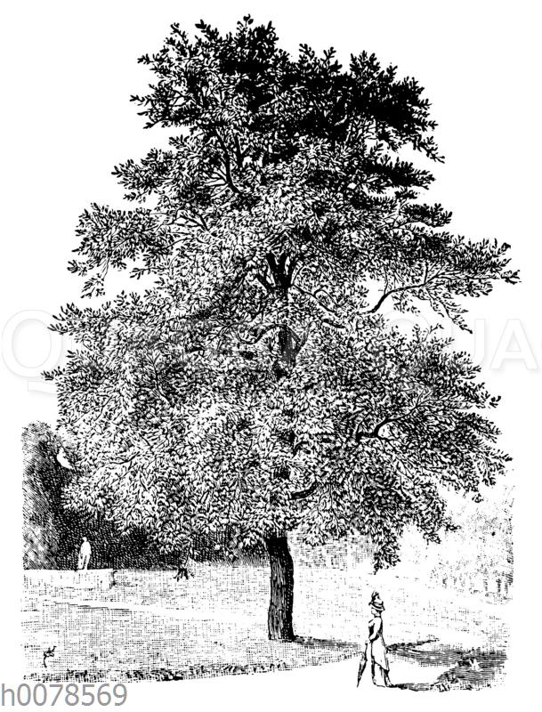 Milchorangenbaum