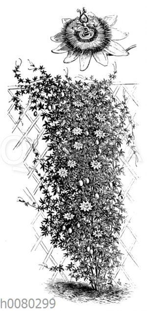 Passiflora coerulea
